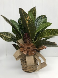 Croton from Eagledale Florist in Indianapolis, IN