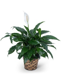 Peace Lily Plant from Eagledale Florist in Indianapolis, IN
