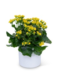 Yellow Kalanchoe Plant from Eagledale Florist in Indianapolis, IN