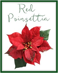 Red Poinsettia from Eagledale Florist in Indianapolis, IN