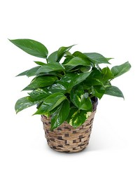Pothos Plant in Basket from Eagledale Florist in Indianapolis, IN