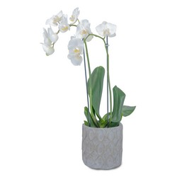 White Elegance Orchid from Eagledale Florist in Indianapolis, IN