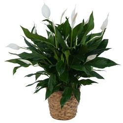 Peace Lily Plant in Basket from Eagledale Florist in Indianapolis, IN